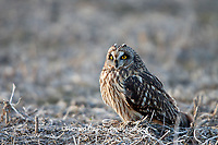 01113-011.19 Short-eared Owl (Asio flammeus) on ground near Prairie Ridge State Natural Area, Marion Co., IL