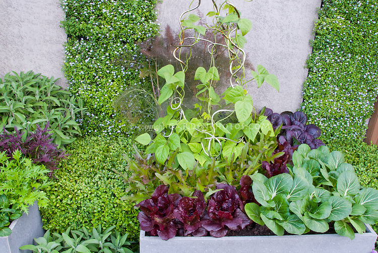 Vegetable Garden with Vertical Growing & Container of galvanized steel, red lettuce, climbing beans on trellis, pak choi in green and purple, oak leaf lettuce, chives in bloom, boxwood shrub buxus, patio wall