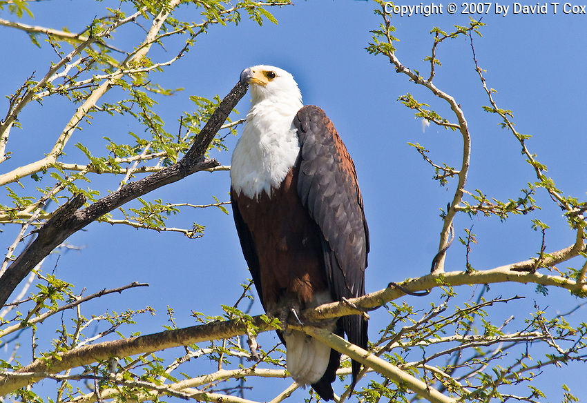 African Fish Eagle, Shire River, Liwonde NP, Malawi