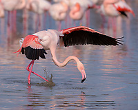 greater flamingo (Phoenicopterus roseus) in water, flapping wings, Camargue, Southern France, France, Europe
