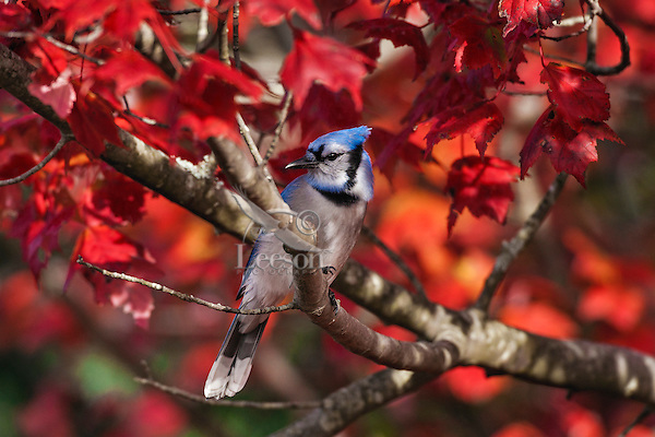 Blue Jay (Cyanocitta cristata) in red maple tree.  Autumn leaves. Nova Scotia, Canada.