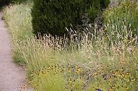 Hilaria jamesii (syn. Pleuraphis j.) - Galleta Grass (Tobosa) flowering in high plains prairie meadow with Ratibida and juniper (Juniperus scopulorum) at Denver Botanic Garden