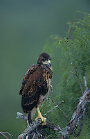 Harris's Hawk, Parabuteo unicinctus, young on branch, Willacy County, Rio Grande Valley, Texas, USA, May 2004