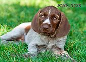 Marek, ANIMALS, REALISTISCHE TIERE, ANIMALES REALISTICOS, dogs, photos+++++,PLMP3226,#a#, EVERYDAY