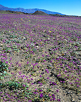Field of Phacelias (Phacelia calthi-folia) along Artists Drive; Death Valley National Park, CA