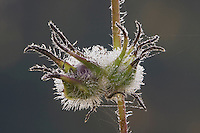 Flower Seeds frost covered, Angier, North Carolina, USA