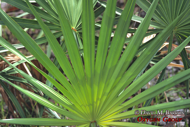 Sawtooth Palmetto