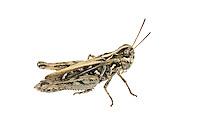 Mottled Grasshopper - Myrmeleotettix maculatus - female