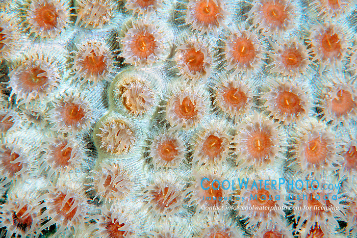 great star coral, Montastrea cavernosa, .Looe Key, Florida Keys National .Marine Sanctuary, Florida (Atlantic).