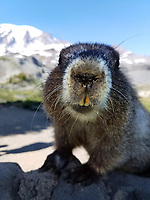 Close-up of hoary marmot (Marmota caligata) looking at camera, Mount Rainier National Park, Washington State, USA