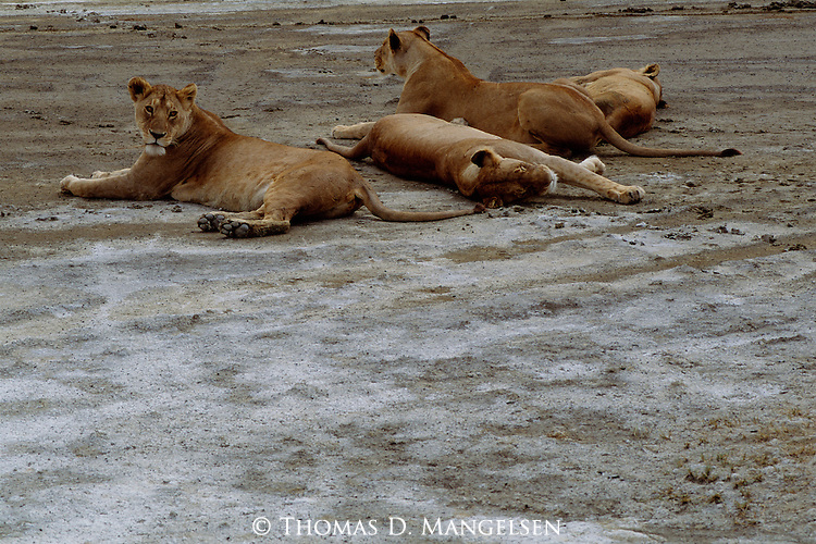 A small pride of lions rest during the hottest part of the day.