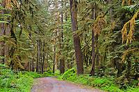 A primitive dirt roads winds through Carbon River Old Growth Rainforest in Mount Rainier National Park.