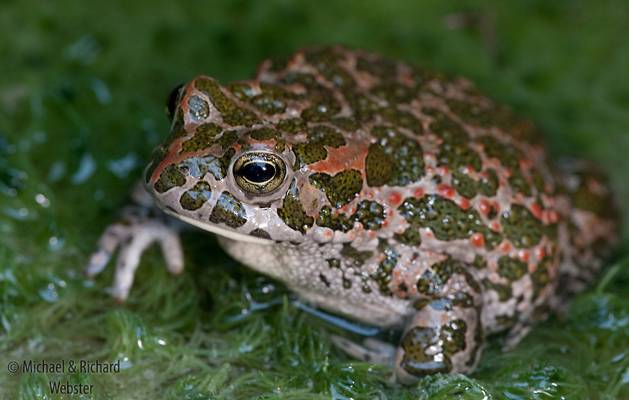 The Balearic toad exhibits the most amazing skin patterning in order to camouflage the animal in a swamp.