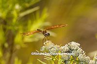 06648-00320 Eastern Amberwing (Perithemis tenera) male Marion Co. IL