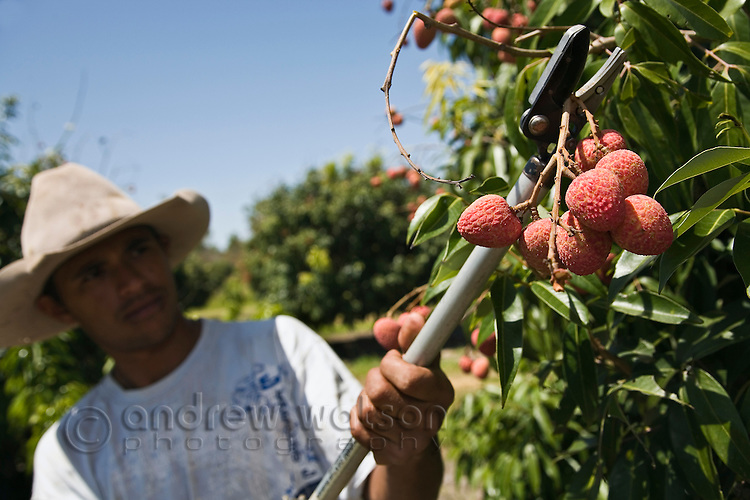 AUSTRALIA, Queensland, Mareeba.Bunches of lychees are picked by hand on a farm in north Queensland.  The fruit is native to southern China but is well suited to the tropical climate of northern Australia