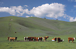 Cattle in Contra Costa County, CA
