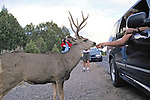 People Feeding Black-tailed Deer