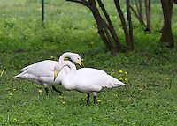 Stock image of a swan pair in lush green grass and flowers in Berlin Tier park.<br /> <br /> (For editorial use only)