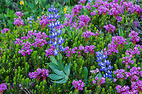 Pink Mountain Heather (Phyllodoce empetriformis) and broadleaf lupine (Lupinus latifolius) in subalpine meadow.  Summer, Mount Rainier area, WA.