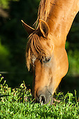 Parana, Brazil. Brown horse grazing.