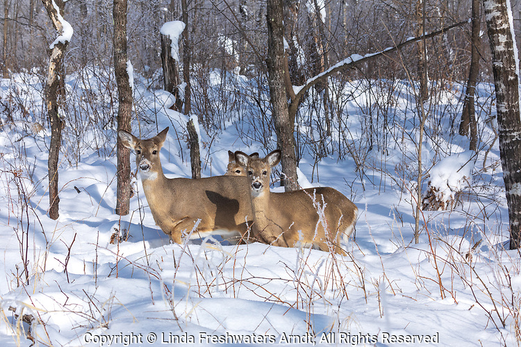 White-tailed doe and her two fawns walking in the deep snow of northern Wisconsin.