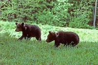 Bruine beer (Ursus arctos), explorerende jongen