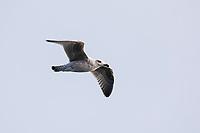 Mantelmöwe, Jungvogel, juvenil, Flug, fliegend, Flugbild, Mantel-Möwe, Möwe, Möwen, Mantelmöve, Larus marinus, great black-backed gull, flight, flying, gull, gulls, Le Goéland marin