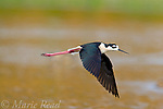 Black-necked Stilt (Himantopus mexicanus), adult male in flight, Orange County, California, USA