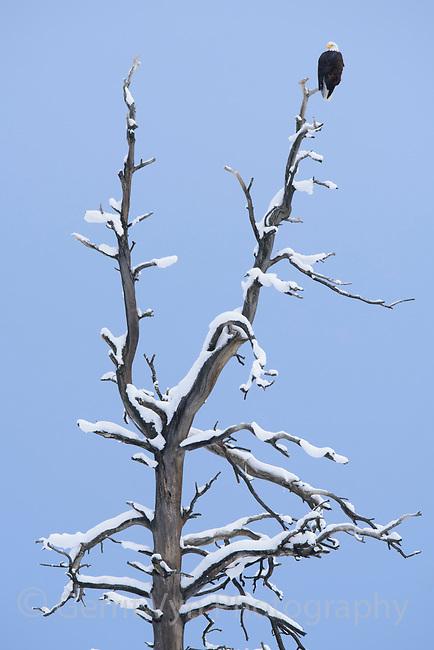 Adult Bald Eagle on Ponderosa pine snag in winter snow. Okanogan County. Washington. January.