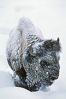 Bison bull (Bison bison), Winter (about-40 out), Yellowstone National Park, WY.