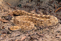 489294013 a captive horned desert viper cerastes cerastes species is native to the arid plains of north africa