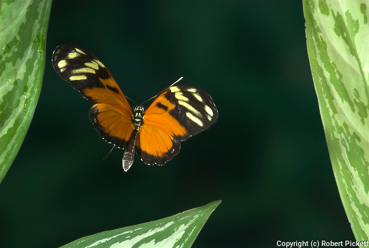 Ismenius Tiger Butterfly Butterfly, Heliconius ismenius, in flight, Costa Rica, High Speed Photographic Technique, flying, tropical jungle.Costa Rica....