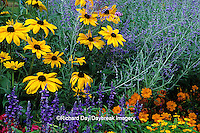 63821-09309 Indian Summer Black-eyed Susans & Russian Sage in flower garden, Marion Co.  IL