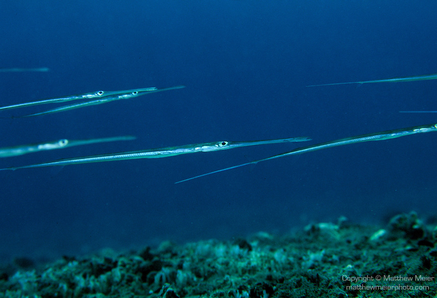 Milne Bay, Papua New Guinea; Cornetfish (Fistularia commersonii), to 150 cm (5 ft.), solitary or form schools, live in virtually all habitats to 128 meters, found in Red Sea to Baja, Galapagos, N. New Zealand, Rapa Island in French Polynesia and Easter Island , Copyright © Matthew Meier, matthewmeierphoto.com