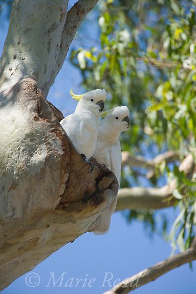 Sulphur-crested Cockatoo (Cacatua galerita), pair investigating a nest cavity in a tree, Eungella National Park, Queensland, Australia