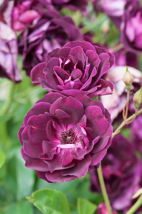 Rosa Burgundy Ice ('Prose'), mid June. A Floribunda rose that has deep plum-coloured flowers with a velvety texture and a light, sweet scent. Bred from 'Iceberg' by  Weatherly, 2003.