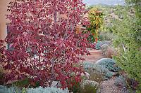 Ash tree, Fraxinus americana 'Autumn Purple' in Xeriscape garden, Santa Fe, New Mexico