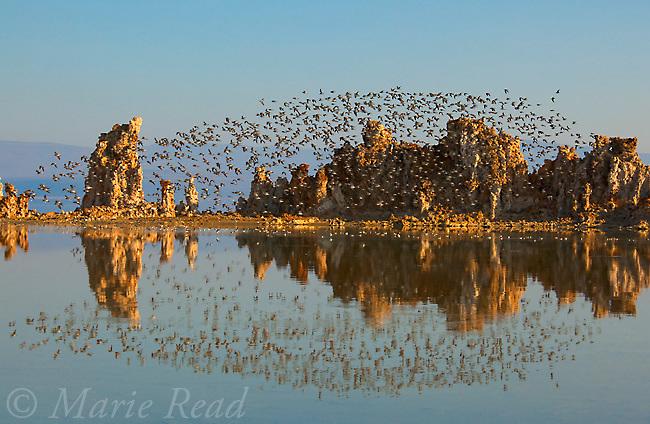 Wilson's Phalaropes (Phalaropus tricolor) flock in flight over tufa formations at Mono Lake, California, USA