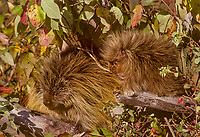 Porcupine mom with young (Erethizon dorsatum).  Montana.  Fall.