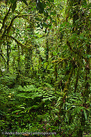 Montane rainforest or cloud forest along the eastern Andes, Manu National Park, Cusco, Peru