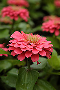 Magellan Coral Zinnia flowers during the summer months at  Prescott Park in Portsmouth, New Hampshire USA