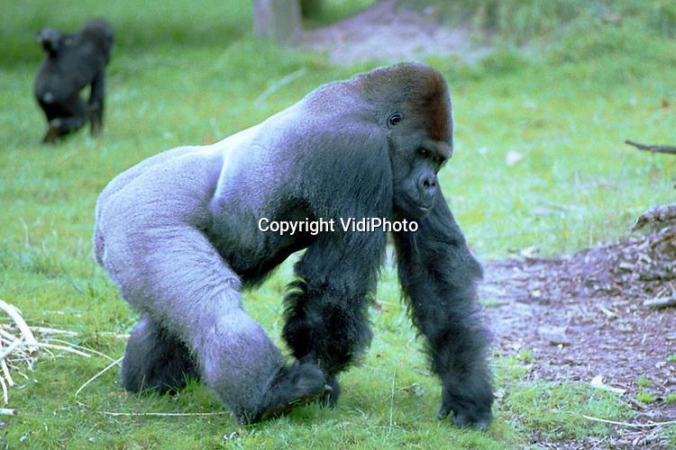 """Foto: VidiPhoto..APELDOORN - Na een ziekte van nog geen anderhalve dag is zondagmiddag op 33-jarige leeftijd Apenheuls gorilla-groepsleider Bongo overleden. Dat heeft het park maandag bekend gemaakt. In de afgelopen 30 jaar zagen meer dan 10 miljoen Nederlanders deze indrukwekkende zilverrug gorilla tijdens hun bezoek aan Apenheul. Bongo was """"het gezicht"""" van Apenheul. Hij overleed zondagmiddag plotseling. Naar de precieze doodsoorzaak wordt nog onderzoek gedaan.."""