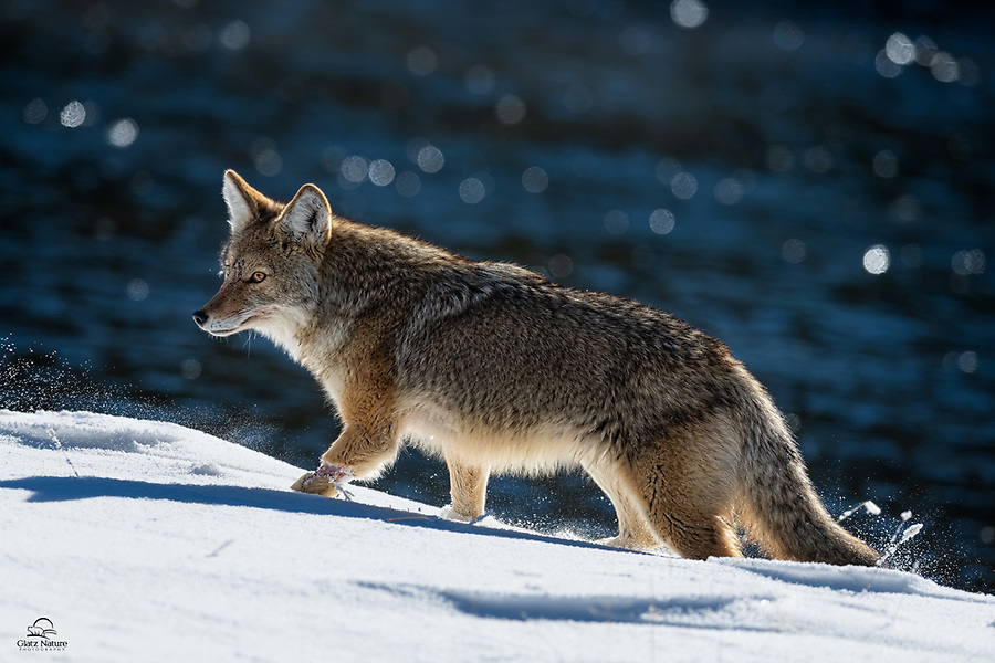 We encountered this Coyote (Canis latrans) several times during our trip to Yellowstone. It literally popped up on the bank of the Madison River and immediately went into hunt mode. Amazing how quickly it went through the deep snow, even with the injury on its front left leg (did it get caught in a snare/trap?).