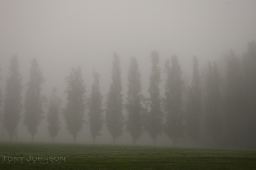 Poplars in fog, Battle Point Park