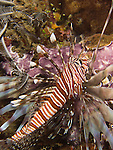 Kenting, Taiwan -- Common lionfish prowling the reef.
