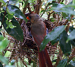 Female cardinal feeding her chicks.