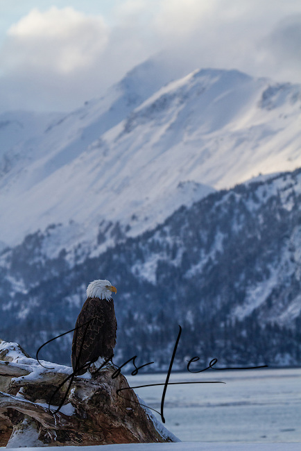 Bald Eagle, Homer Alaska photograph