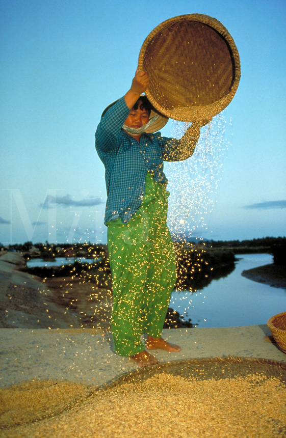 A Vietnamese woman drys harvested rice north of Ho Chi Minh City (formerly Saigon). woman farmer. Ho Chi Minh City, Vietnam.