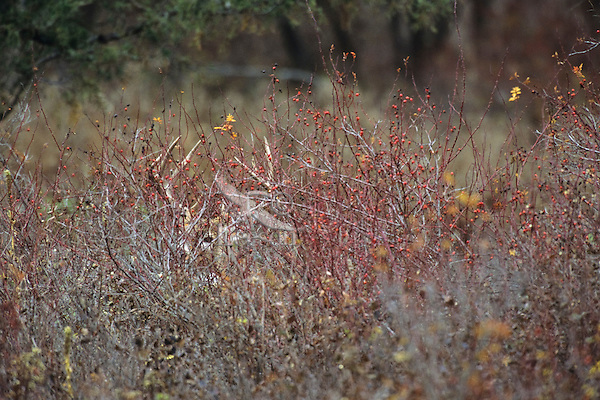 White-tailed deer buck hiding among wild rose bushes.  Western U.S., late fall.