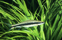 Siamesische Rüsselbarbe, Grünflossenbarbe, Siamensis, Crossocheilus siamensis, Crossocheilus oblongus, Siamese algae eater, Le mangeur d'algues siamois, Barbeau à raie noire